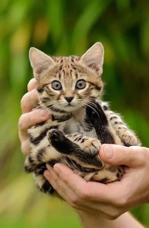 最小的猫科动物
