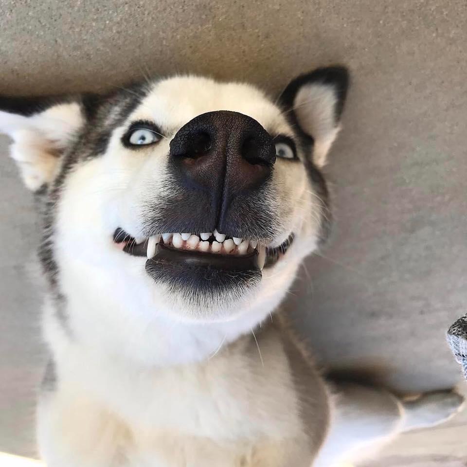 笑�9�9�#��'_如果你现在心情不好,看完这些二哈表情图准会笑出声!