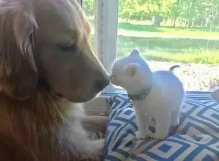 到家没两天 狗狗就自愿担任起小喵的全职保镖 每天搂搂抱抱画风暖到爆