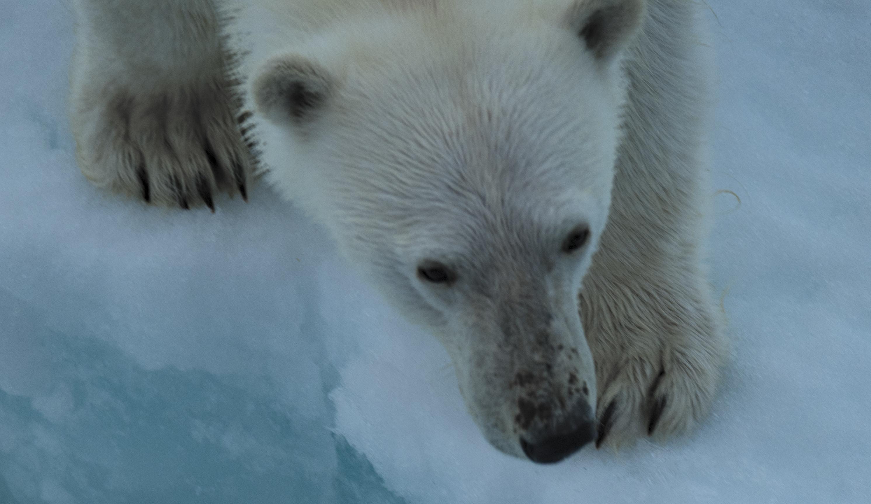 日本图片的鹦鹉,北极熊不怕怕到底人牡丹冰原北极闪王者图片