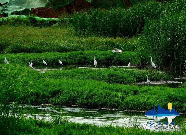 大变样!通州这条河引来上千只白鹭安家!将建鸟类景观台