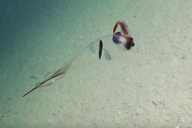 据《触摸地球新闻网》9月1日报道,美国探索号船已经带领我们领略了很多惊人的深海海洋生物,例如深海抹香鲸、顽强的头足类动物,今年7月,他们还在加州海洋深处看发现了六腮鲨,现在,他们又发现了一种透明的乌贼。