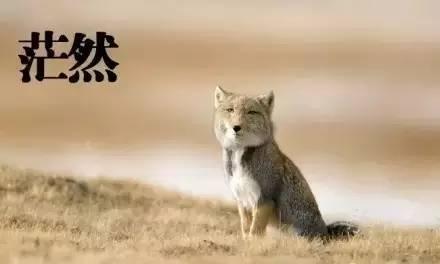 在西藏有种丑萌丑萌的动物 堪称行走的表情包 动物界行走的面瘫诗人