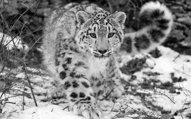 毛厚,耳小 在食物短缺的季节,咀嚼尾巴成为了雪豹一家老小饱腹的必备