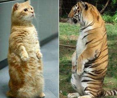观点二,猫虎同种论:大家都知道猫跟老虎都是猫科动物,从长相上看两者