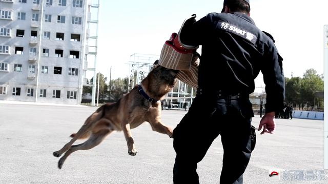 训犬员正在训练一只警犬的撕咬能力。