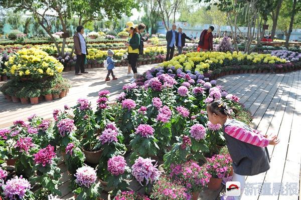 乌鲁木齐市植物园20万盆菊花开了