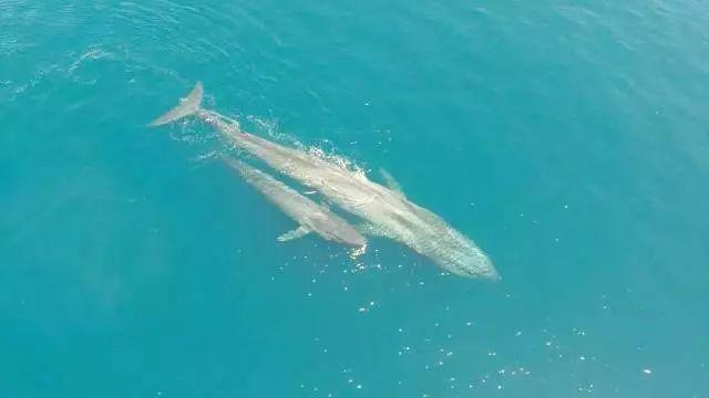 地球史上最大的动物 蓝鲸属于须鲸科,目前可以确认的蓝鲸亚种有三个