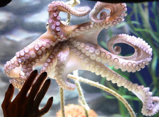 """章鱼拥有""""接近人类等级的意识水平""""。"""