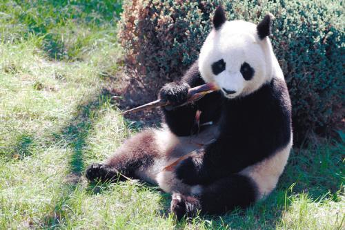 9月27日11点沈阳森林动物园熊猫馆开馆,我们就在这里等大家啦!