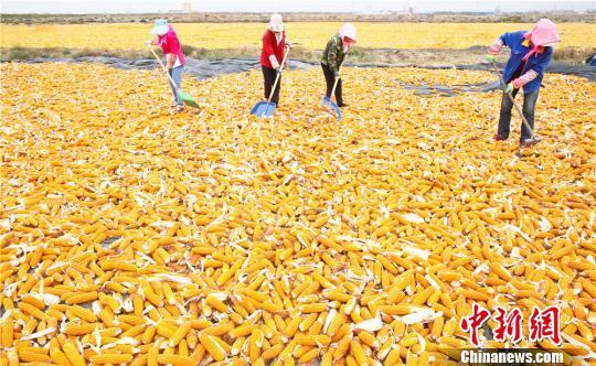 甘肃张掖是国家级玉米制种基地,玉米制种种植面积稳定在100万亩。 王将 摄