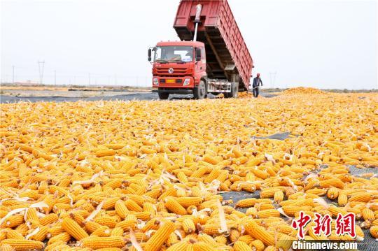 图为正在拉运和晾晒制种玉米。 王将 摄