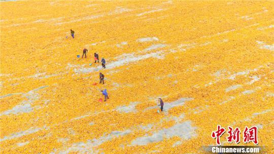 晾晒着金黄色玉米,绘就出一副秋天的农俗美景图。 王将 摄