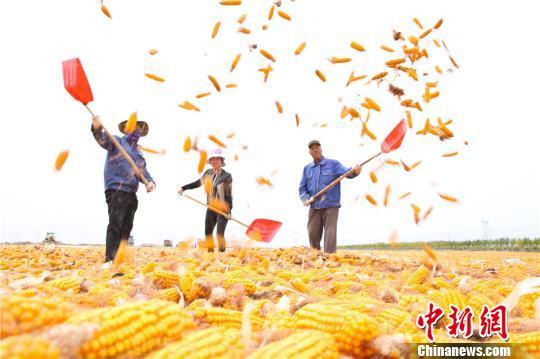 图为9月25日,农民正在晾晒玉米。 王将 摄