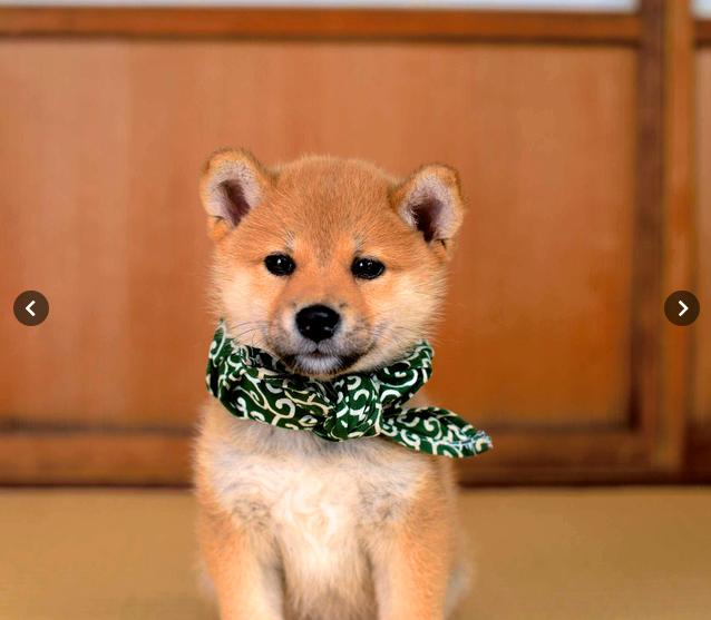 """日本综艺节目《和风总本家》的吉祥物柴犬""""豆助""""因在苜蓿花纹浴池里"""