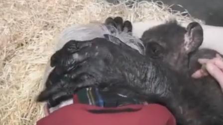 临终黑猩猩暖心拥抱老朋友
