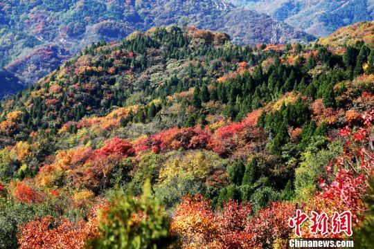 八达岭国家森林公园的红叶漫山遍野,层林尽染。