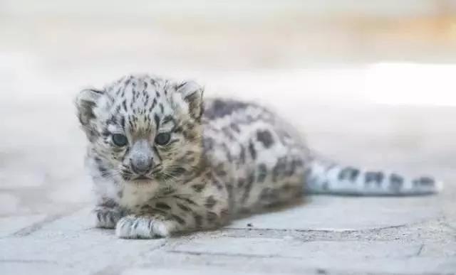 雪豹之豹风