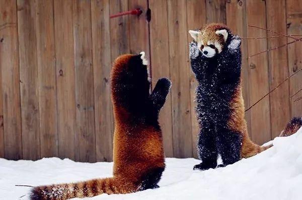 干脆面!不,是小熊猫