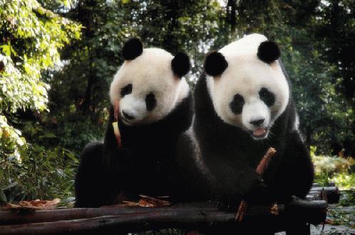 因为台湾动物园的管理人员照顾不周,导致团团圆圆因故