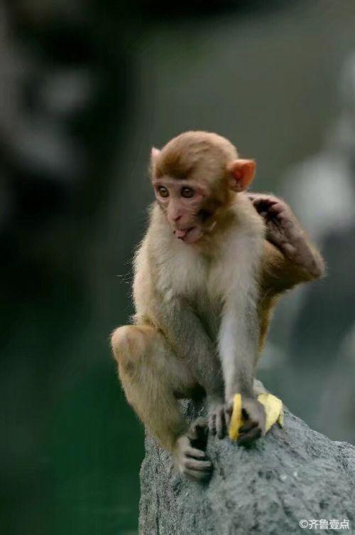 可爱的济南动物园小猴子,行走的表情包
