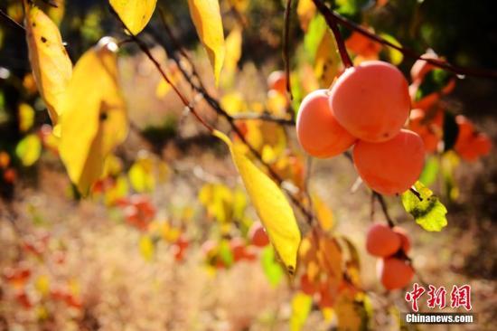 日本2个柿子拍出4800美元 培育用了11年