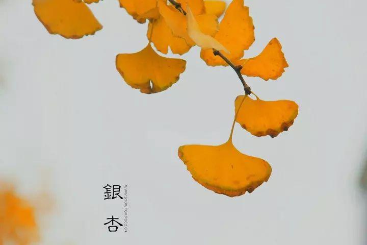 5,低感光度画质细腻表现银杏叶