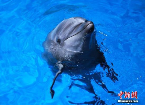 资料图:宽吻海豚。 董明来摄