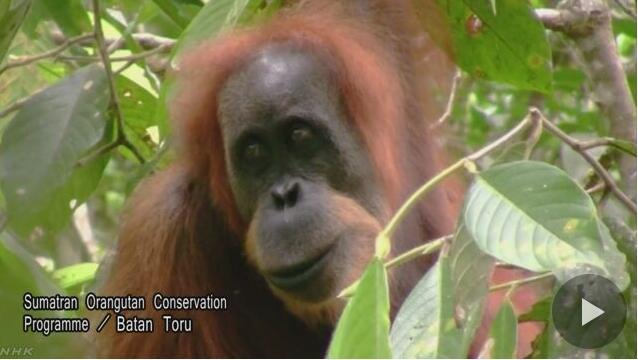 印尼苏门答腊岛发现新猩猩物种:时隔90年重大发现