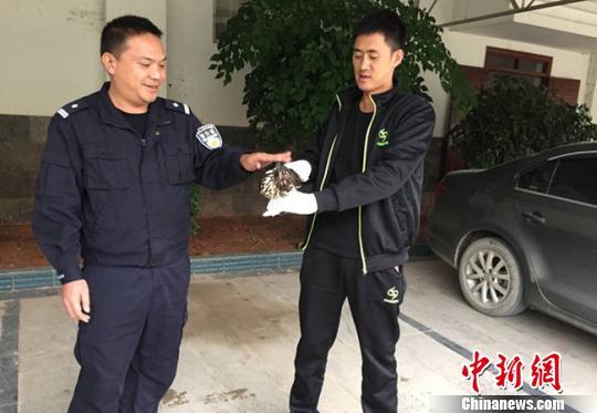 图为民警救助的国家二级保护动物凤头鹰。广南县森林公安局供图
