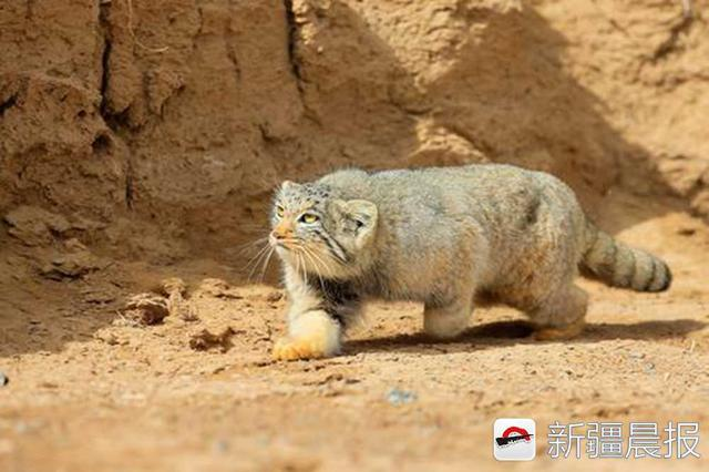 作者:许传辉 国家二级重点保护野生动物,形似四肢短小的家猫,种名manul源于蒙古语小山猫,栖息于荒漠地区,常夜间单独活动,主要以鼠兔等小型鼠类为食,往往依靠灵敏的视觉,通过伏击等的方式进行捕猎。 分布:见于南北疆荒漠及荒漠草原 5.野耗牛