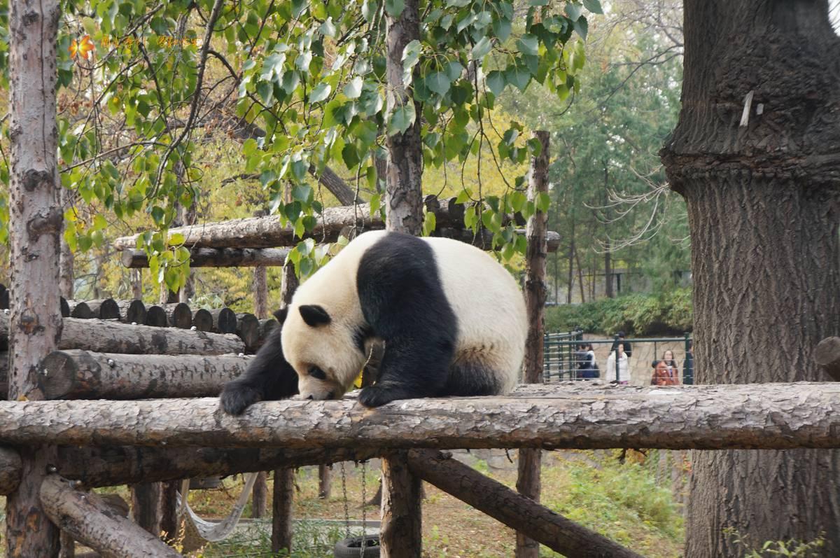 北京动物园大熊猫悠闲悠哉的萌态讨人爱