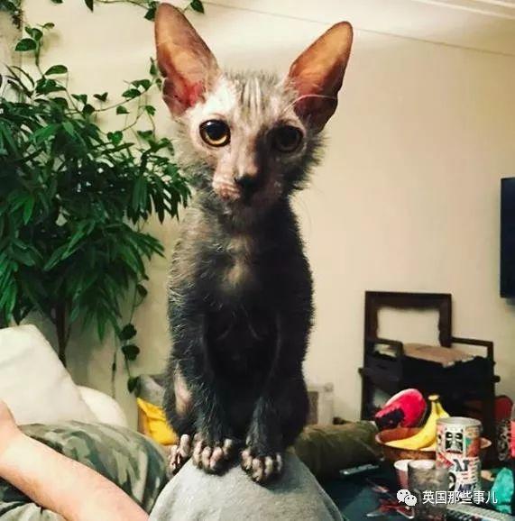"Michael所属的品种是""狼猫""(Lykoi), 纯自然基因的狼猫现在已经非常罕见,是稀有中的稀有, 估计全球范围内最多不会超过35只... 而人工培育的狼猫, 是由美国兽医约翰·戈博和他的妻子于3年前, 将一只有自然突变基因的无毛猫和另一只家养黑色短毛猫配种之后, 首发出了10只小狼喵宝宝, Michael就是这10只的后代, 目前只有7个月大,和铲屎官居住在瑞士."