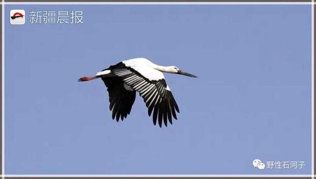"""鸟界""""国宝""""东方白鹳首次现身新疆 全球数量仅存3000只"""