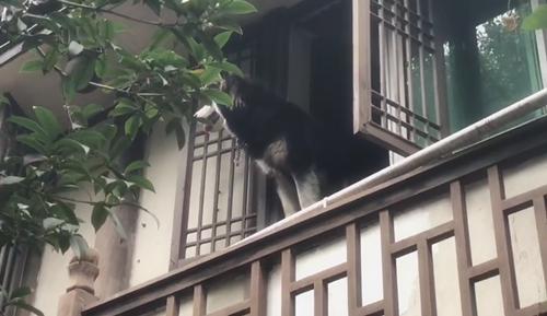 阿拉斯加犬景区窗台打望 游客:好担心它掉下来