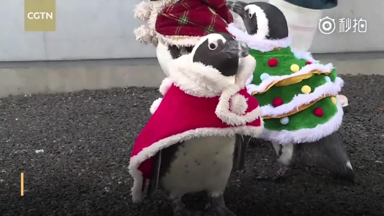 可爱!企鹅身着圣诞装在日本游乐园游行