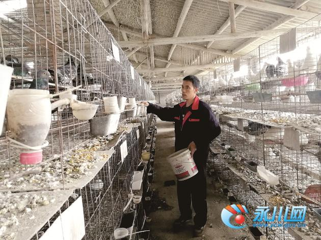 永川一男子养肉鸽_带动村民实现年收入400多万