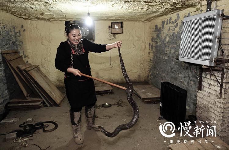 女蛇王建大平层养7000条眼镜蛇:10秒宰杀 1分钟剥皮
