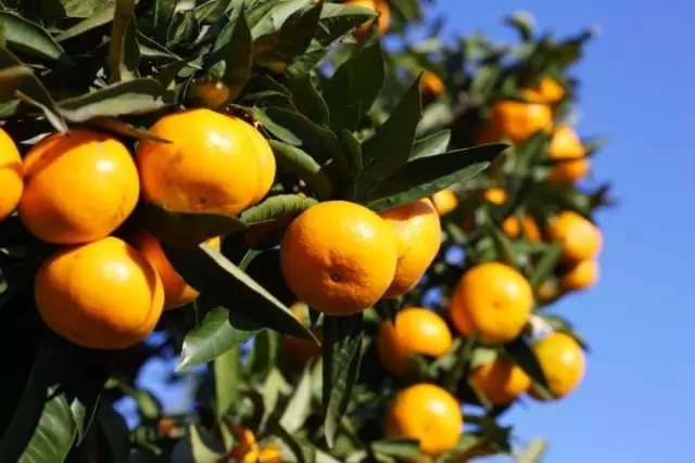 柑橘熟了 重庆周边摘果攻略!