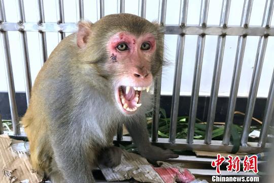 """国家二级保护动物猕猴闯闹市 被警方""""拘捕"""""""