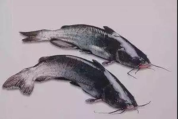 200万斤鮰鱼滞销 市委书记朋友圈转发后销售一空