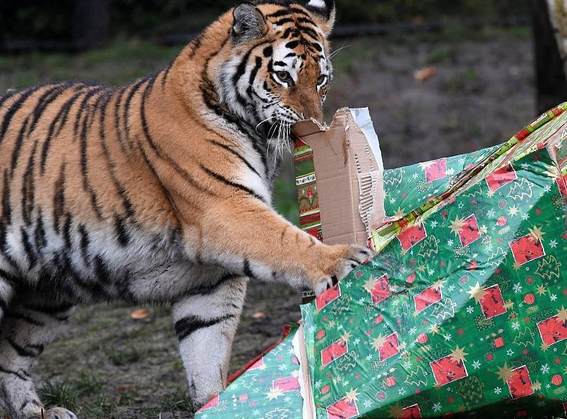 """德国动物园发放圣诞礼物 霸气老虎""""怒拆""""礼物"""
