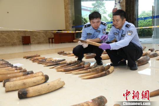 图为缉私警察对查获的涉嫌走私的象牙进行清点周磊摄