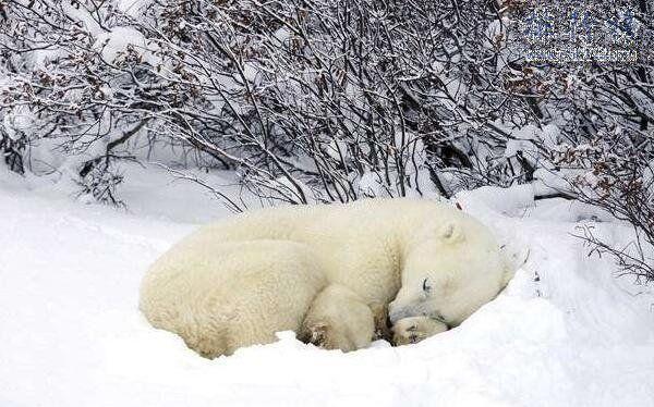 地球上15大冬天冬眠的动物,最后一种一生3 4的时间都在睡觉