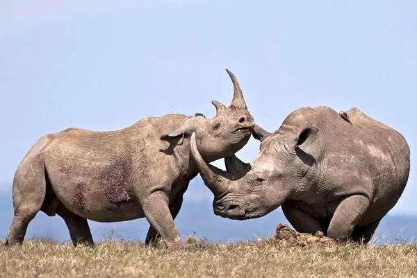 壁纸 犀牛 野生动物 600_401