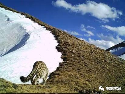 欧亚猞猁,亚洲金猫,荒漠猫,兔狲为国家二级保护动物.