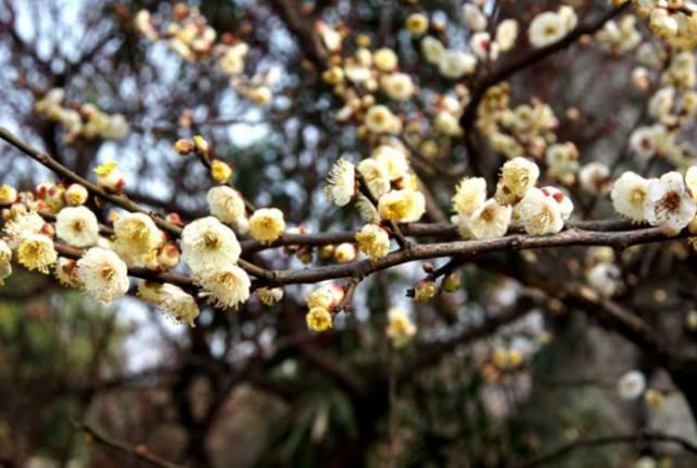 冬天赏花去哪儿好?重庆首个梅花主题公园即将亮相