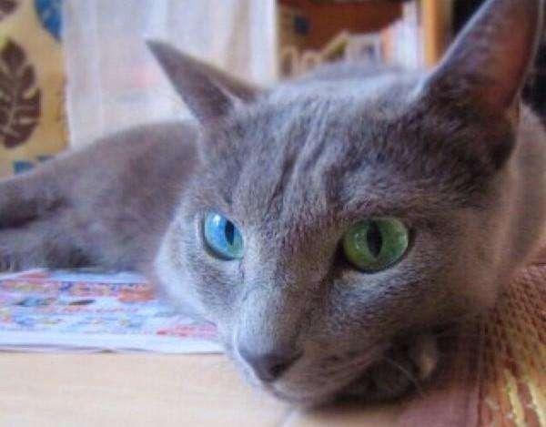鸳鸯眼的俄罗斯蓝猫 虽然先天性耳聋是一种很大的缺憾,但是先天性耳聋的猫也能十分健康地成长发育和生活。这是因为他们并不是通过耳朵,而是通过四肢爪子下的肉垫来感知外部的声响。肉垫里有相当丰富的触觉感受器,能够感知地面微小的震动,猫就是利用它来探知地下老鼠洞里是不是有情况,是不是需要搞点事情。 只有猫会有鸳鸯眼? 其实不只是猫类,鸳鸯眼的特征也会出现在别的物种中。比如香港艺人林峰的爱犬MIMI(哈士奇),就是具有鸳鸯眼的雪橇犬。此外,鸽子中也有鸳鸯眼一说。