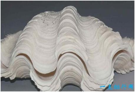 世界上最大的贝类砗磲体长可达1米以上能制成宝石