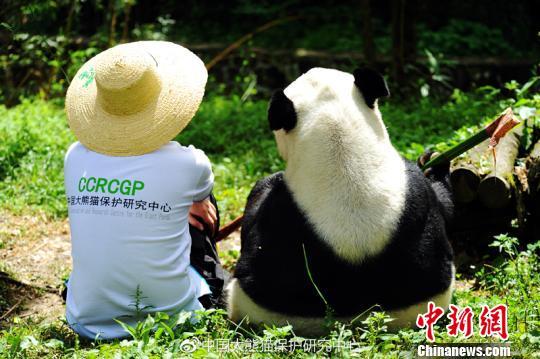 """大熊猫""""鹏鹏""""与饲养员。 钟欣摄"""